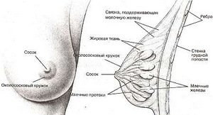 Из чего состоит женская грудь фото